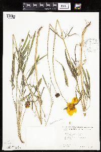 Image of Coreopsis lanceolata