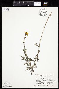 Image of Coreopsis palmata