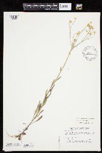 Erigeron strigosus var. strigosus image