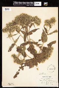 Image of Eupatorium perfoliatum