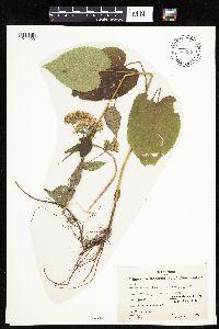 Image of Eurybia macrophylla