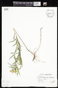 Image of Euthamia graminifolia