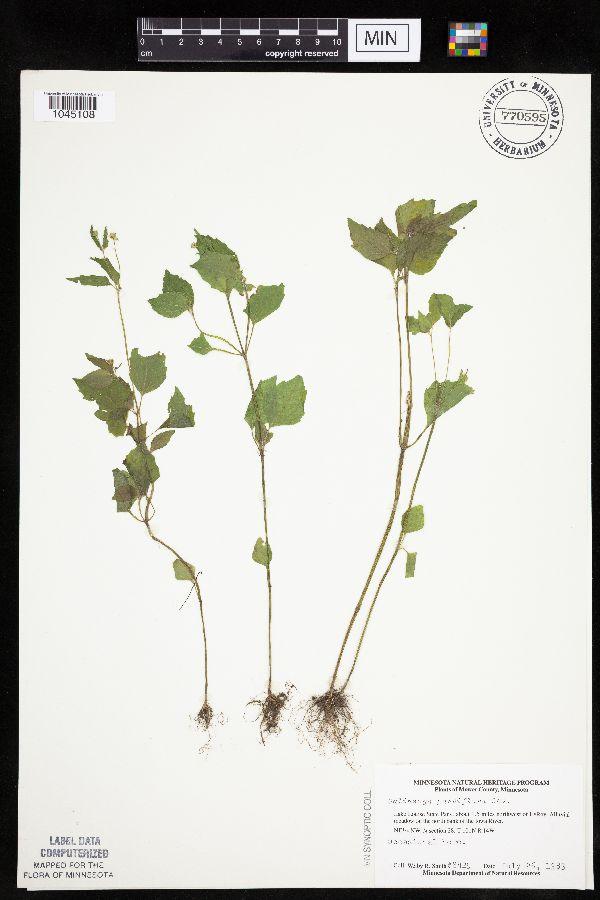 Galinsoga parviflora var. parviflora image