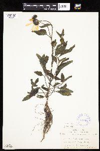 Helianthus petiolaris subsp. petiolaris image
