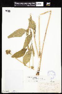 Heliopsis helianthoides var. scabra image