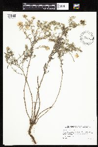 Image of Heterotheca villosa
