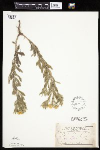 Heterotheca villosa image