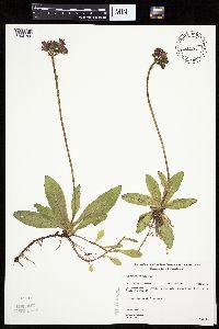 Image of Hieracium aurantiacum