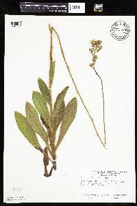 Hieracium longipilum image