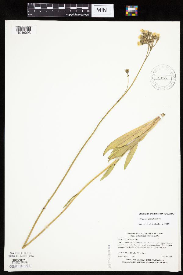 Hieracium image