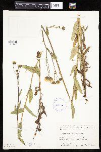 Hieracium umbellatum image