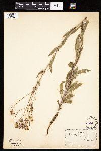 Mulgedium pulchellum image