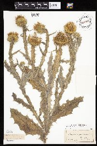 Onopordum acanthium image