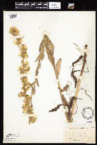 Nabalus asper image