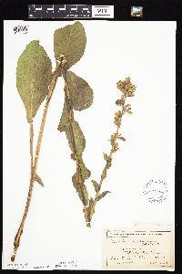 Nabalus racemosus image