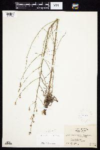 Stephanomeria tenuifolia image