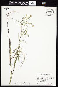 Symphyotrichum boreale image