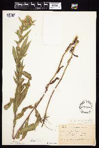 Symphyotrichum firmum image