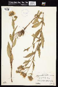 Image of Symphyotrichum hendersonii