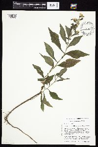 Symphyotrichum ontarionis image