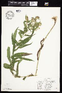 Symphyotrichum puniceum image