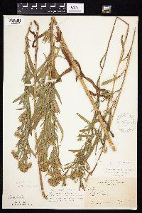 Image of Symphyotrichum x longulum