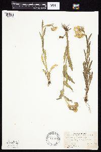 Tephroseris palustris image