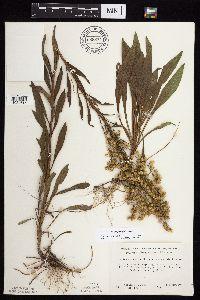 Solidago jejunifolia image