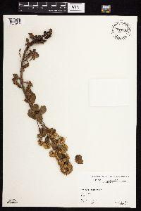 Solidago spathulata image