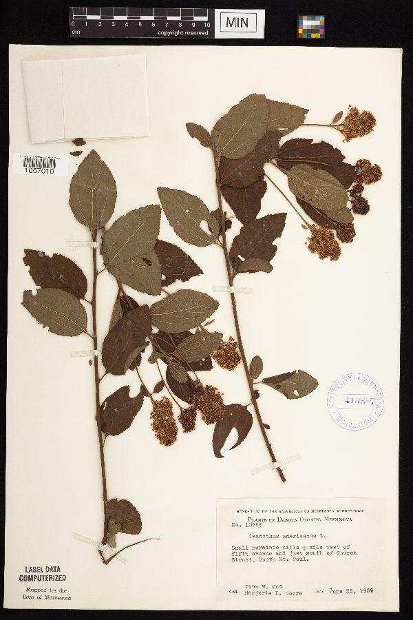 Ceanothus image