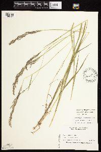 Image of Agrostis stolonifera