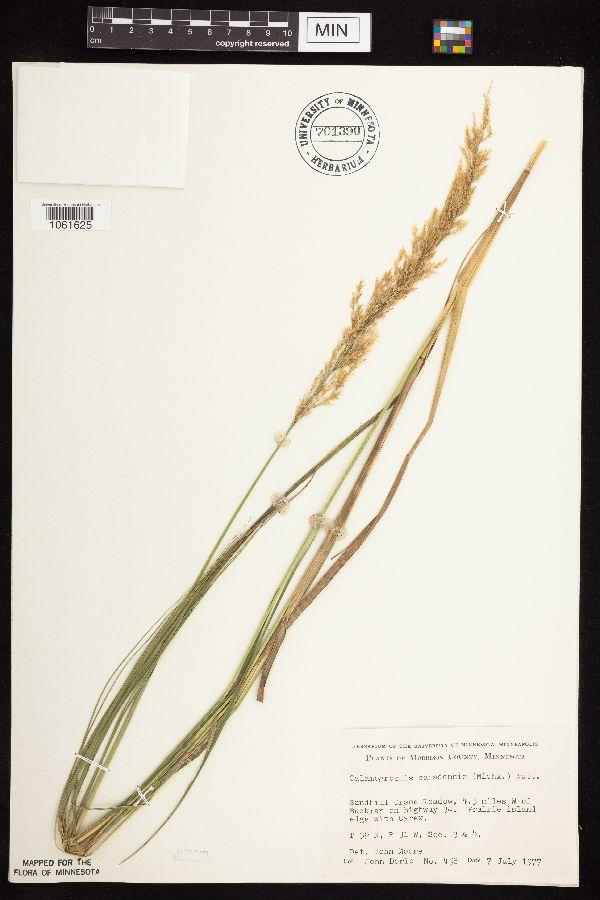 Calamagrostis image