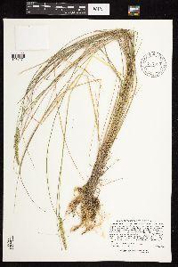 Calamagrostis stricta subsp. inexpansa image