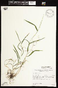 Image of Cinna latifolia