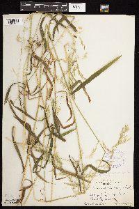 Cinna latifolia image