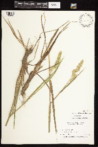 Image of Dactylis glomerata