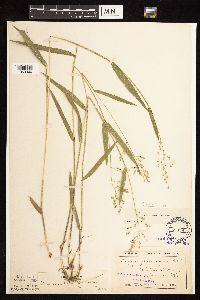 Image of Dichanthelium leibergii