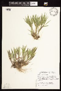 Dichanthelium ovale subsp. pseudopubescens image