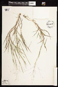 Image of Leptoloma cognatum