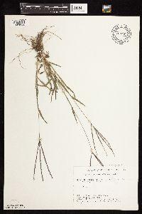 Image of Digitaria sanguinalis