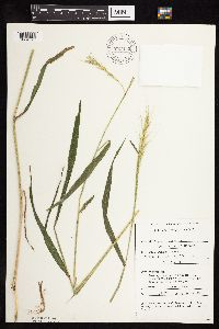 Image of Elymus hystrix