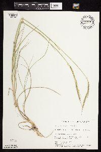 Image of Elymus trachycaulus