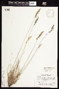 Festuca rubra subsp. rubra image