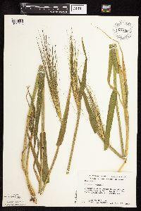 Image of Hordeum vulgare