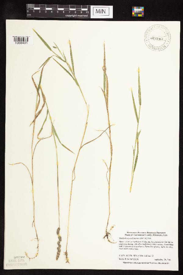 Muhlenbergia image