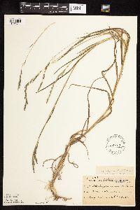 Muhlenbergia mexicana image