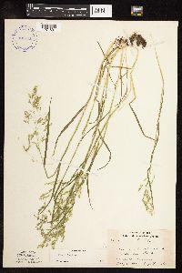 Poa trivialis subsp. trivialis image