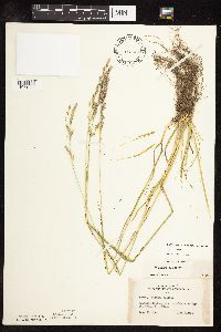 Schedonorus pratensis image