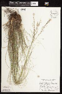 Sporobolus heterolepis image