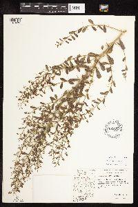 Alhagi maurorum image